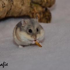 Een meelwormpje houdt een hamster enkele seconden bezig