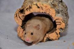 Objecten zoals deze kurktunnel zorgen ervoor dat de hamster altijd bij de camera uitkomt